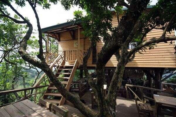 咖啡樹與林木共生