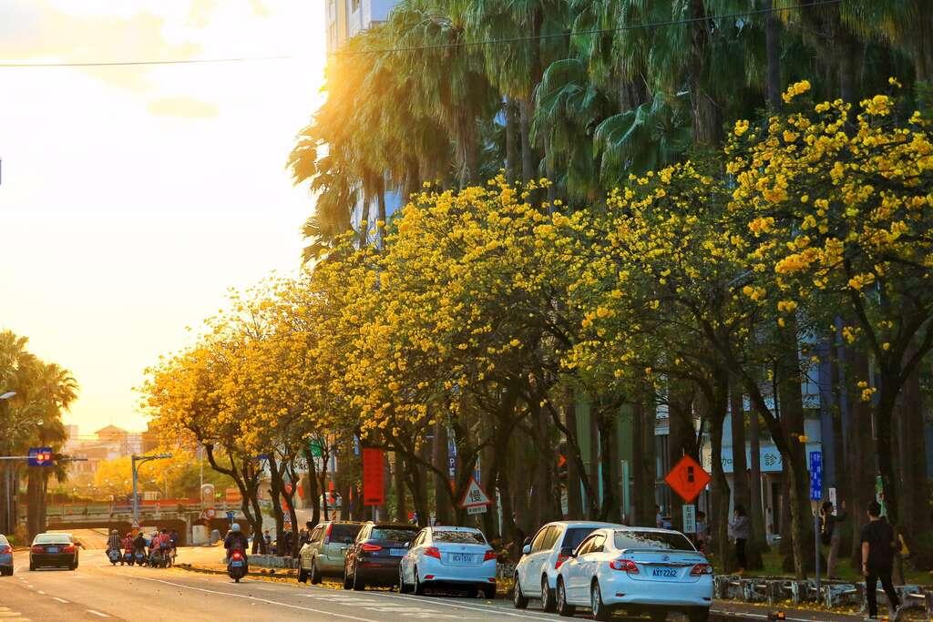 滿城盡落黃金雨-黃花風鈴木-花期約至3月中
