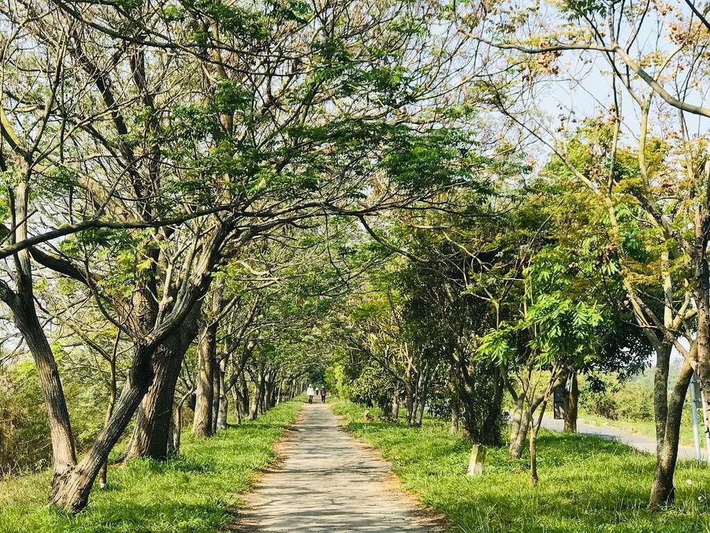 曾文溪苦楝樹