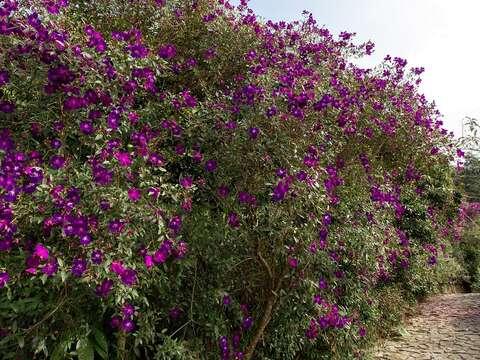 梅嶺紫牡丹