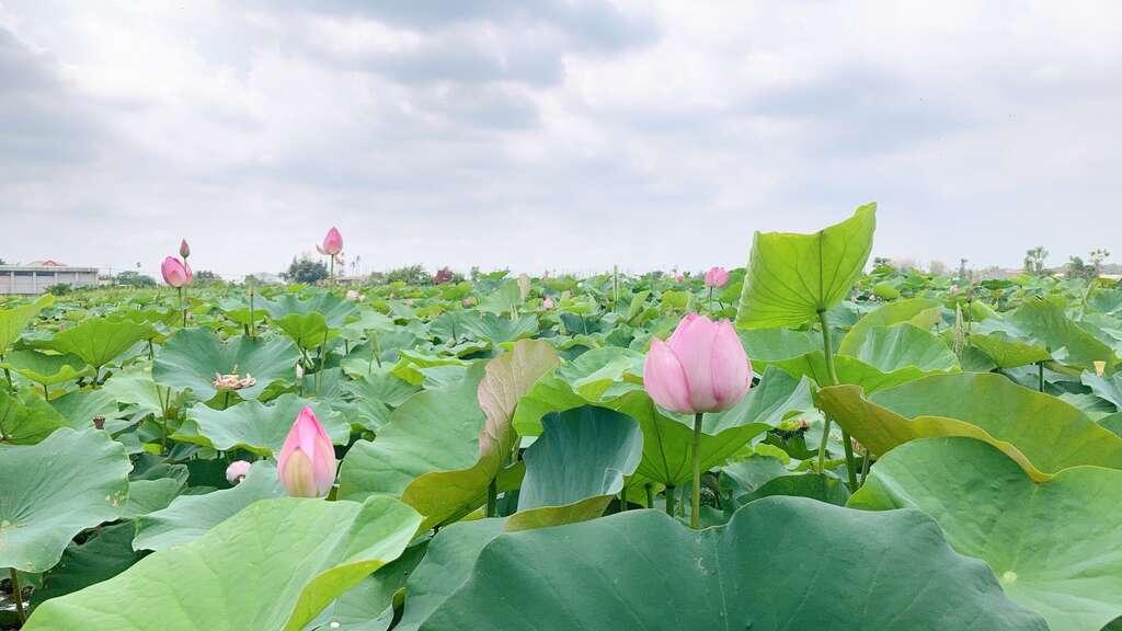 蓮花花況 白河區公所提供