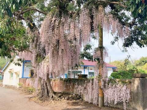石斛蘭花況 白河區公所提供